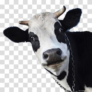 cattle calf cartoon illustration