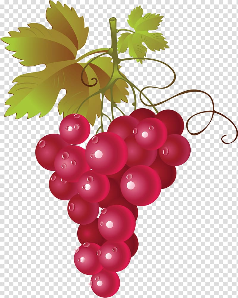 hight resolution of maroon grape illustration common grape vine wine grapes transparent background png clipart hiclipart