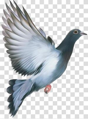 Burung Dara Png : burung, Columbidae, Racing, Homer, Homing, Pigeon, Bird,, Burung, Merpati, Transparent, Background, Clipart, HiClipart
