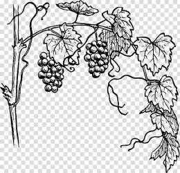 Vine Drawing Free content Grape Outline transparent background PNG clipart HiClipart