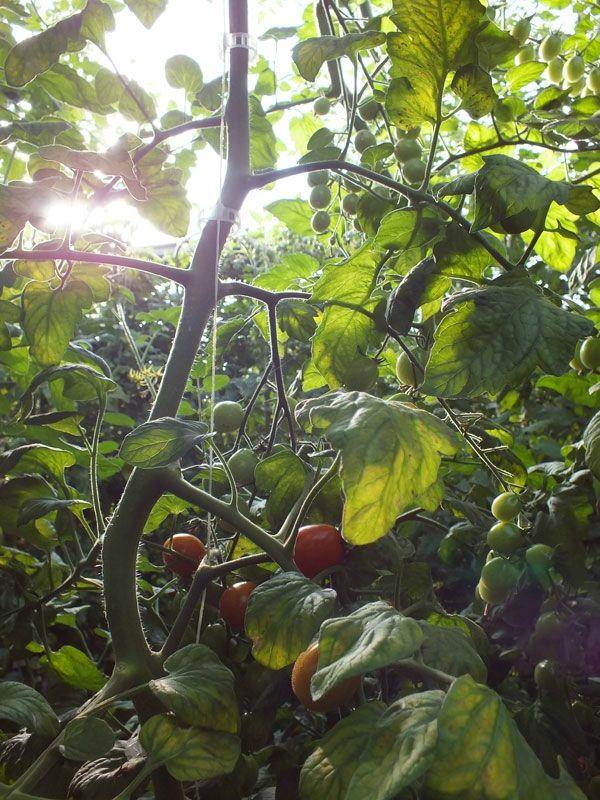 cueillette-ferme-viltain-chapeau-de-paille-jouy-en-josas-fleurs-mures-groseilles-tomates-cerises-mais-doux-champs-nature-courgette-choux (13)