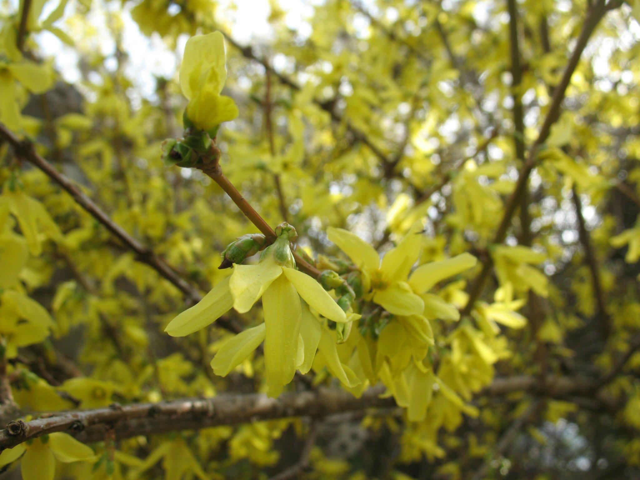 Fleurs jaunes  fleurs de printemps  Brin et brindille  atelier saisonnier