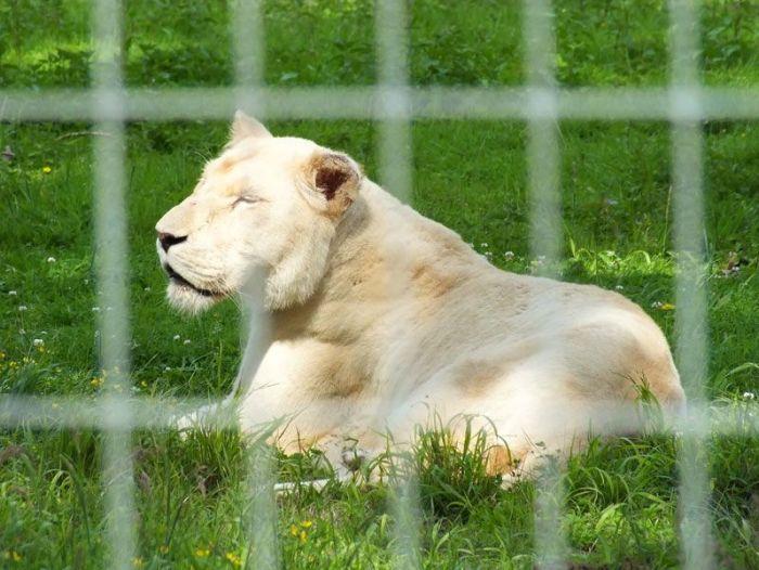parc-des-felins-nesle-seine-et-marne-lion-blanc-jaguar-guepard-tigre-lorike-bebe-lynx-lapin-elevage-reproduction (1)