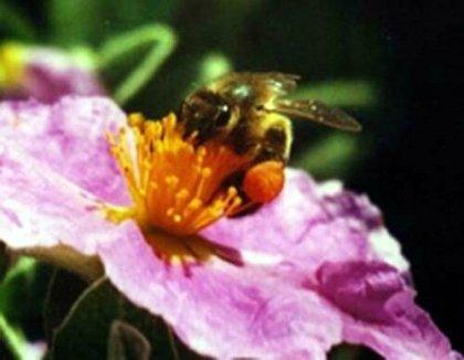 pollen ciste