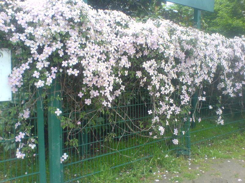 Clmatites  fabrizzio le jardinier