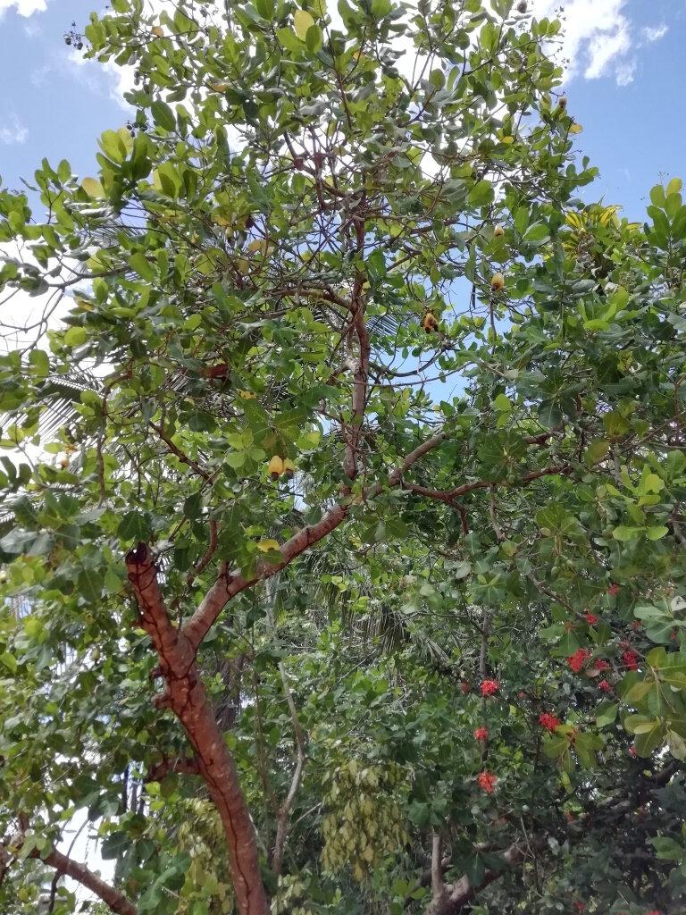 Noix De Cajou Arbre : cajou, arbre, Anacardier, Arbre, Cajou, Photo, Marais, Guyanais