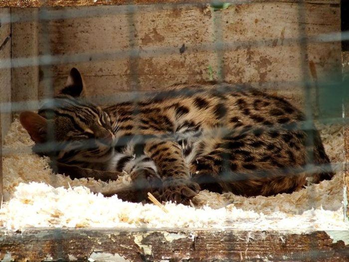 parc-des-felins-nesle-seine-et-marne-lion-blanc-jaguar-guepard-tigre-lorike-bebe-lynx-lapin-elevage-reproduction (15)