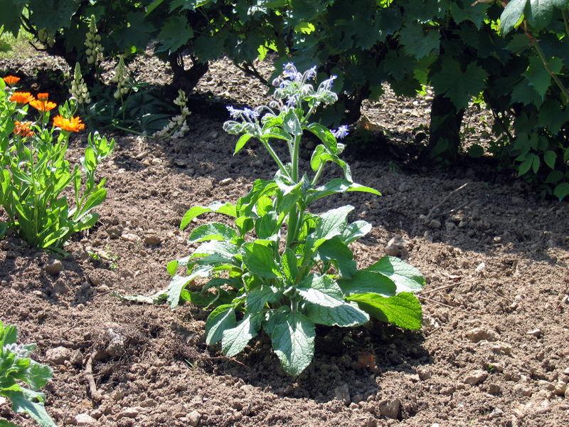 Bourrache  Photo de Mon jardin potager  Ma Nature 2