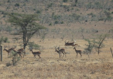 Impalas running during the wildlife drive