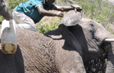 Elephant Rescued From Poacher's Snare at The Ol Pejeta Conservancy