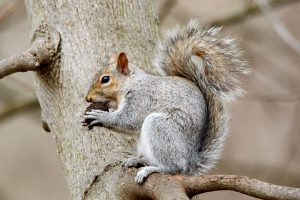 squirrel eating walnut