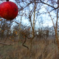 Selv i december måned hænger der røde æbler på træerne.