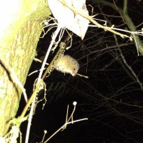 En sen aftentime fangende jeg lige et billede af denne lille mus to meter oppe i et træ.