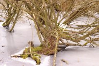 Mos vegetation er at finde på næsten samtlige træer og rødder.
