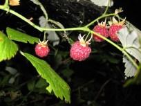 En håndfuld skovhindbær nydes i al stilhed før turen går hjem igen....