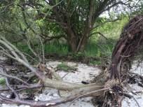 Her et træ der havde givet op. Rødderne danner en super god læ-side for evt. soveplads.