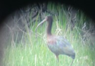 096-01-2012 White-faced Ibis 05:03:2012 Smithfields Twp., Huntingdon Co., David Kyler #2