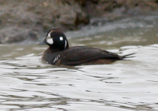 149-01-2012 Harlequin Duck Presque isle S.P., PA 01:08:2012, Shawn Collins #5a