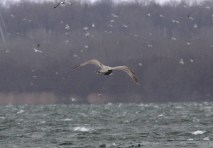 348-01-2012 Thayer's Gull 12 Feb 2012, Presque Isle S.P., PA., Jerry McWilliams #3