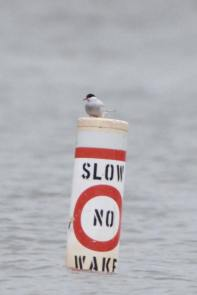 369-02-2012 Arctic Tern 05:21:2012 Beltzville Res., Carbon Co., Dustin Welch #2