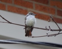 545-01-2012 Ash-throated Flycatcher 01:04:2012 Newville, Cumberland Co., Dale Gearhart #2a