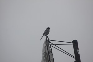 699-01-2012 Loggerhead Shrike 05:27:2012 Tinicum Twp., Bucks Co.,Mark Gallagher #5