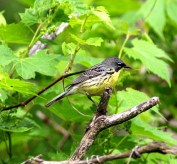 746-01-2012 Kirtland's Warbler 05:22:2012 Erie, Erie Co., Jerry McWilliams #2