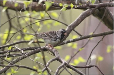 839-01-2012 Harris's Sparrow 04:17:2012 Howard, Centre Co., Alex Lamoreaux #1