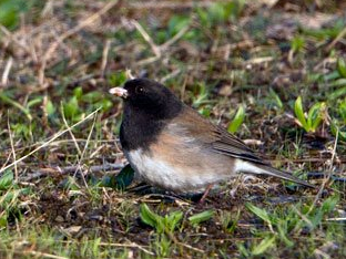 840a-01-2012 Oregon Junco 3-25-12 Presque Isle S.P.