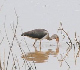 White Ibis- Green Pond, Northampton Co., photo by Joe Greco