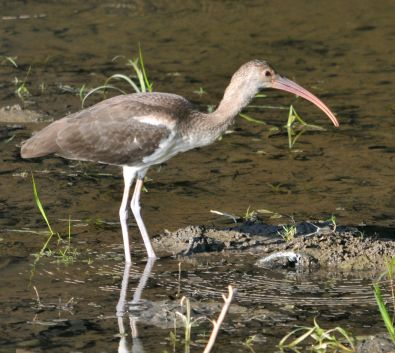 White Ibis - West Fairview Cumberland and Dauphin Cos., Larry Usselman