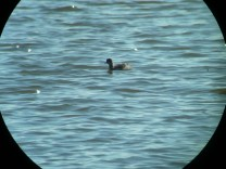 Eared Grebe Mem Lake 11-6-12 by Al Guarente