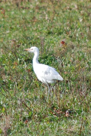Cattle_Egret_2