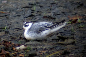 Red_Phalarope_2 331-05-2012