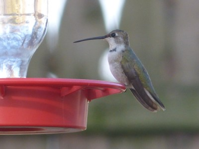 489-01-2012 Black-chinned hummingbird 1