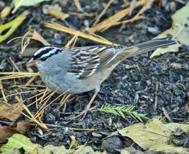 White_crowned_Sp._Intermediate_(HBEskin_10_16_12)