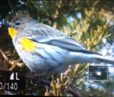 Audubon's Warbler 1-2-2013 Farbotnik iPhone photo
