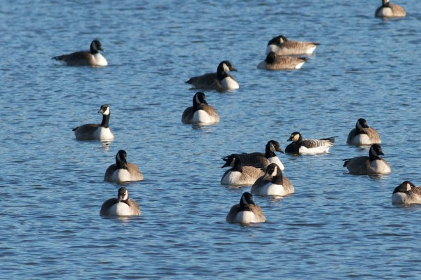 Barnacle Goose 1-10-13 Peace Valley Park Tom Johnson