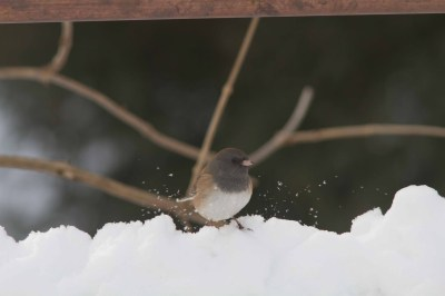 Oregon Junco_Nick Bolgiano_12-31-2012b