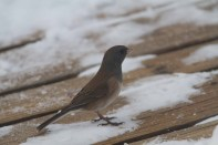 Oregon_Junco_Nick_Bolgiano_12_31_2012a