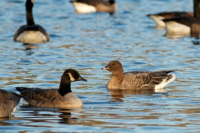 Pink-footed Goose 1-7-13 Tom Johnson