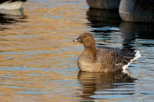 Pink-footed Goose 3, 1-7-13 Tom Johnson