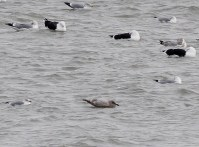 348-03-2012 Thayers Gull 12-22-2012 Erie2