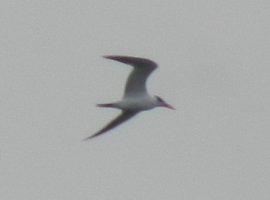 364-02-2012 Royal Tern 10-31-2012 Lake Nockamixon Bucks