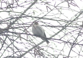 887-03-2013 Hoary Redpoll - Center2