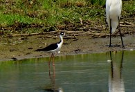 Black-necked Stilt 3 7-19-2013 Berks