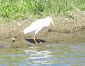 Cattle Egret 5-1-2013 Northampton