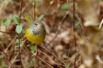 MacGillivray's Warbler Tom Johnson 3