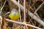 MacGillivray's Warbler Tom Johnson 6
