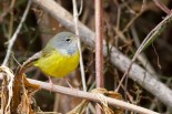MacGillivray's Warbler Tom Johnson 7